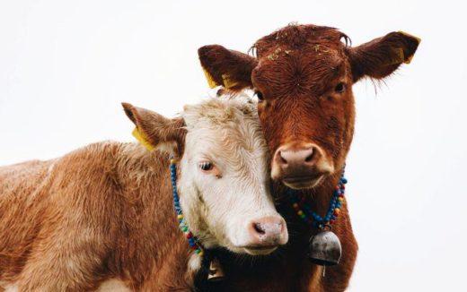 Czy jedzenie mięsa to zabijanie zwierząt?